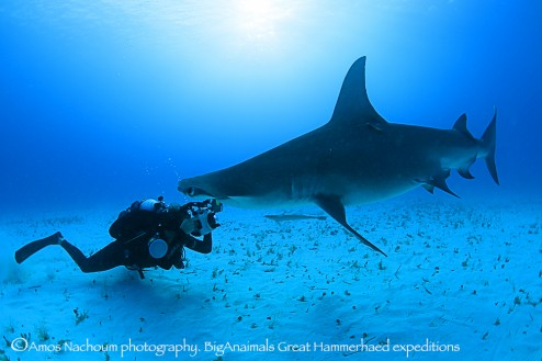 Amanda with Great Hammerhead
